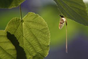 Mayfly (Ephemera Danica) on Leaf, Dala River, Götene, Västra Götaland, Sweden, June 2009 by Falklind
