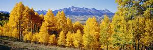 Fall Aspen Trees Telluride Co