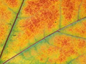 Fall Leaf Detail, Washington, USA