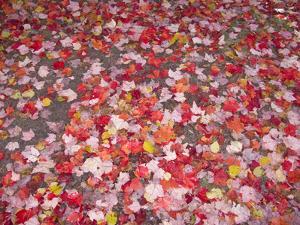 Fallen Maple Leaves on Forest Floor