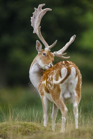 https://imgc.allpostersimages.com/img/posters/fallow-deer-dama-dama-buck-grooming-antlers-in-velvet-north-island-new-zealand_u-L-Q13AAFK0.jpg?p=0