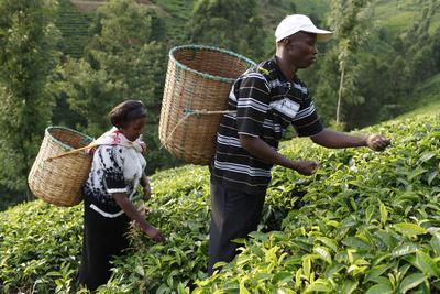 https://imgc.allpostersimages.com/img/posters/farmer-lincoln-kimanthi-mugo-and-his-wife-polly-mukami-picking-tea-kathangiri-kenya_u-L-Q1GYMVR0.jpg?artPerspective=n