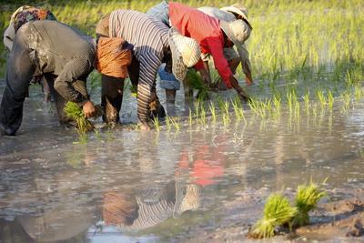 https://imgc.allpostersimages.com/img/posters/farmers-planting-rice-siem-reap-cambodia_u-L-Q1GYHDO0.jpg?artPerspective=n
