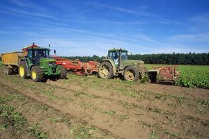Farming Harvesting Potatoes
