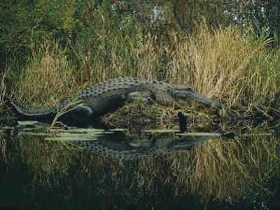American Alligator Basking Near the Water