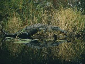 American Alligator Basking Near the Water by Farrell Grehan