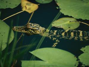 Juvenile American Alligator by Farrell Grehan