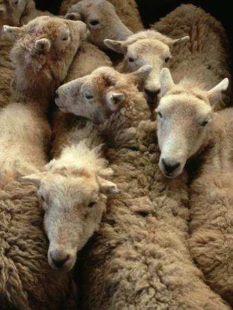 Sheep for Sale at the Welshpool Sheep Auction