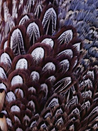 The Feathers of a Pheasant