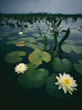 Water Lilies in the Swamp by Farrell Grehan
