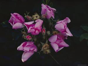 Wild Prairie Rose by Farrell Grehan