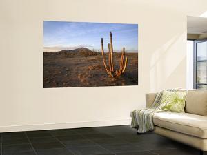 Golden Light on Organ Pipe Cactus, North of Puerto Penasco in Gran Desierto De Altar by Feargus Cooney
