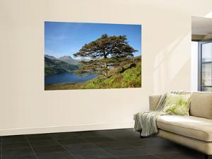 Scots Pines on Shore of Loch Hourn, Knoydart Peninsula by Feargus Cooney