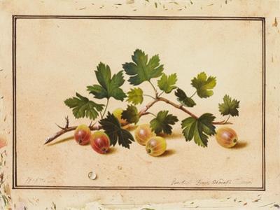 Gooseberries, 1818