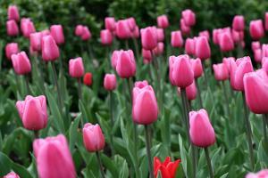 Tulips by Fedorkin