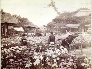 Iris Garden in Tokyo, C.1867-80 by Felice Beato