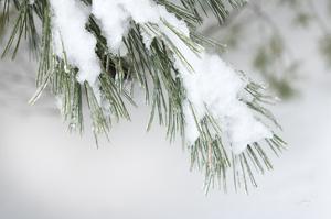 Snowy Bough by Felicity Bradley