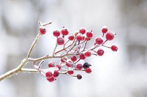 Winter Berries I by Felicity Bradley