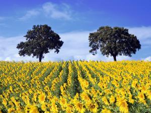 Field of Sunflowers with Holm Oaks by Felipe Rodriguez
