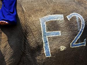 Chalk Drawn Number on Elephant Hide at Elephant Polo King's Cup by Felix Hug