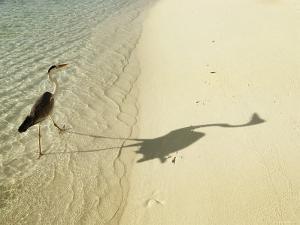 Heron Walking along Beach, Mafushivaru, Ari Atoll, Alifu, Maldives by Felix Hug