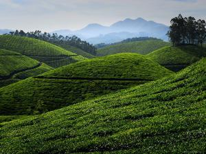 Tea Plantations Covering the Rolling Hills by Felix Hug