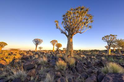 Quiver Tree Forest Outside of Keetmanshoop, Namibia at Dawn