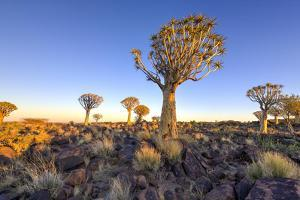 Quiver Tree Forest Outside of Keetmanshoop, Namibia at Dawn by Felix Lipov