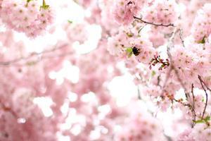 Bumblebee Sitting Between Blooming Cherry Blossoms by Felix Strohbach