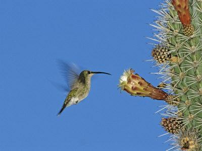 https://imgc.allpostersimages.com/img/posters/female-antillean-mango-feeding-on-cactus-blossom-bosque-estatal-de-guanica-puerto-rico_u-L-Q10O1DC0.jpg?p=0