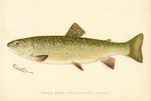 Female Brook Trout