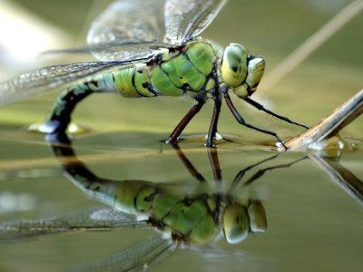 https://imgc.allpostersimages.com/img/posters/female-emperor-dragonfly-laying-eggs-at-the-edge-of-a-pond-cornwall-uk_u-L-Q10O35W0.jpg?p=0