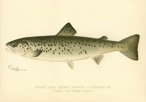 Female Land Locked Salmon