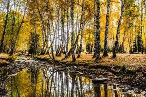 Autumn Birch Forest, Hemu, Xinjiang China by Feng Wei Photography