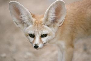 Fennec Fox Close-Up of Head, Facing Camera