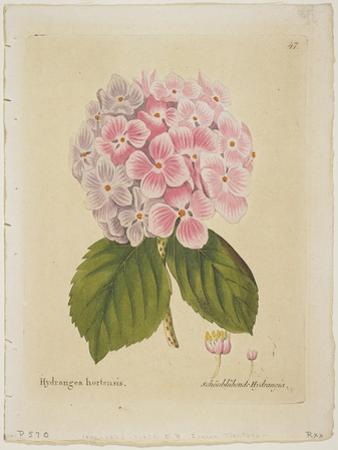 Schonbluhende Hydrangia