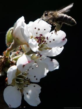 Bee and Pear Blossom, Bruchkoebel, Germany by Ferdinand Ostrop