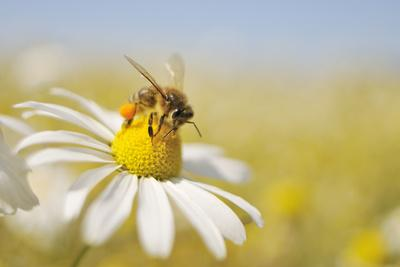 European Honey Bee Collecting Pollen and Nectar from Scentless Mayweed, Perthshire, Scotland