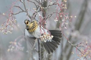 Fieldfare (Turdus Pilaris) Feeding on Rowan Berries (Sorbus Hupehensis) Perthshire, Scotland by Fergus Gill