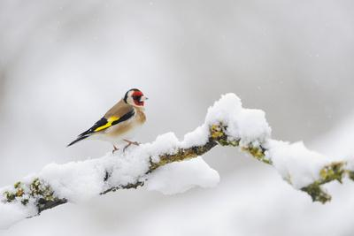 Goldfinch (Carduelis Carduelis) Perched on a Snow Covered Branch, Perthshire, Scotland, UK, April