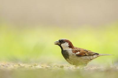 Male House Sparrow (Passer Domesticus) Feeding on the Ground, Perthshire, Scotland, UK, July