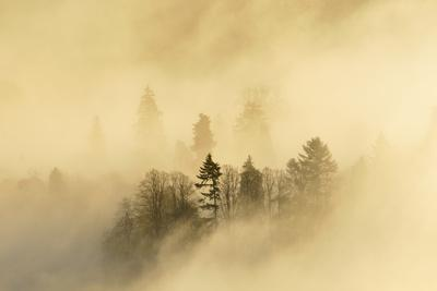 Mist over a Mixed Woodland in Autumn. Kinnoull Hill Woodland Park, Perthshire, Scotland, November