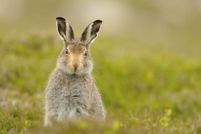 Mountain Hare (Lepus Timidus) Sub-Adult Leveret, Cairngorms National Park, Scotland, UK, July