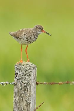 Redshank Perched on Fence Post Vocalising, Balranald Rspb, North Uist, Outer Hebrides, Scotland, UK by Fergus Gill