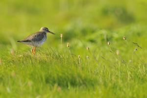 Redshank (Tringa Totanus) Calling, Balranald Rspb Reserve, North Uist, Outer Hebrides, Scotland by Fergus Gill