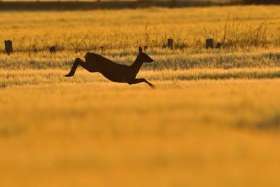 Roe Deer (Capreolus Capreolus) Doe Leaping Through Barley Field in Dawn Light. Perthshire, Scotland
