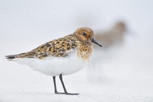 Sanderling (Calidris Alba) in Breeding Plumage, Standing on Shoreline, Outer Hebrides, Scotland, UK by Fergus Gill