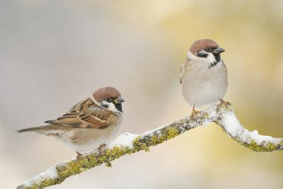 Two Tree Sparrows (Passer Montanus) Perched on a Snow Covered Branch, Perthshire, Scotland, UK