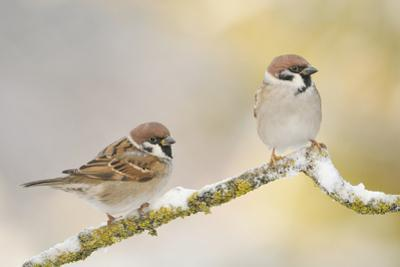 Two Tree Sparrows (Passer Montanus) Perched on a Snow Covered Branch, Perthshire, Scotland, UK by Fergus Gill