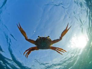 Djibouti, A Red Swimming Crab Swims in the Indian Ocean by Fergus Kennedy